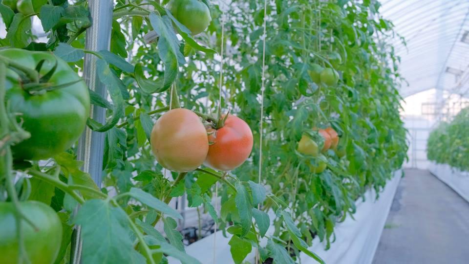 AYASAYA FARM トマト